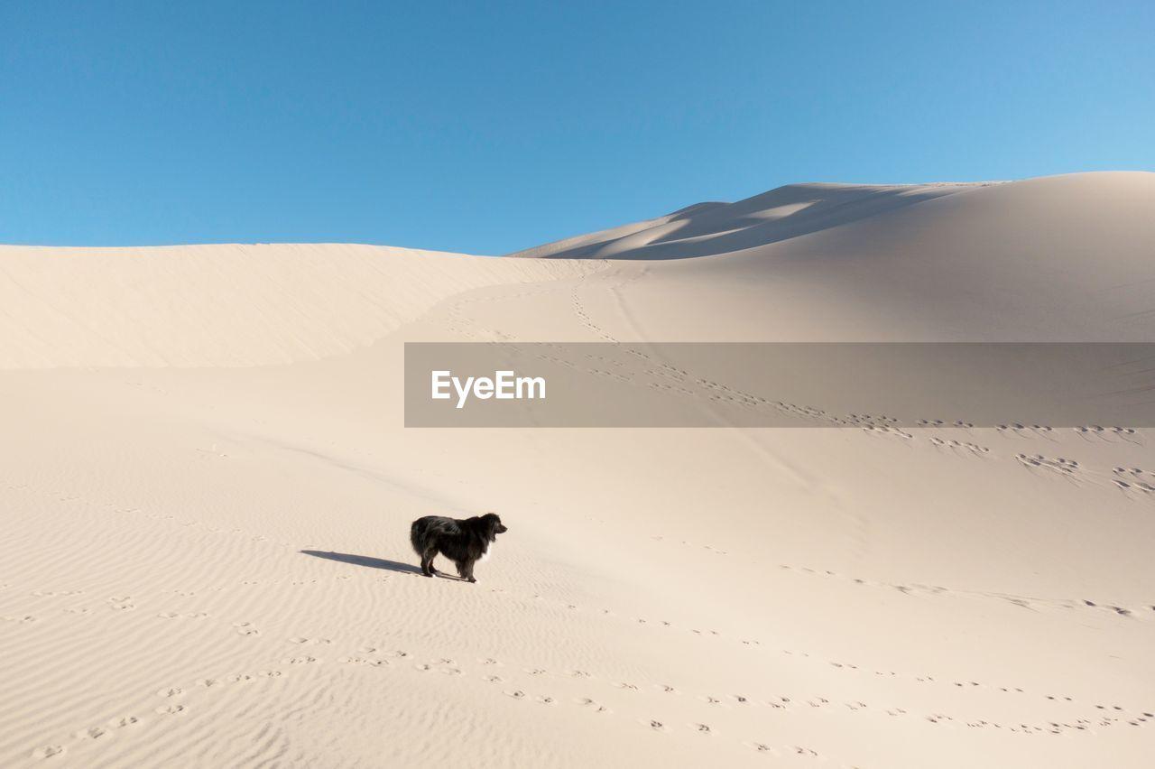 Dog standing at desert against clear sky
