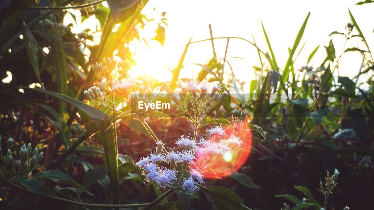 plant, growth, nature, land, beauty in nature, close-up, sky, no people, field, flowering plant, focus on foreground, flower, sunlight, day, vulnerability, fragility, freshness, outdoors, lens flare, selective focus, flower head
