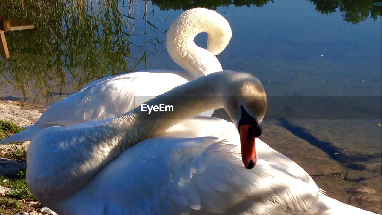 Swans Standing By Pond