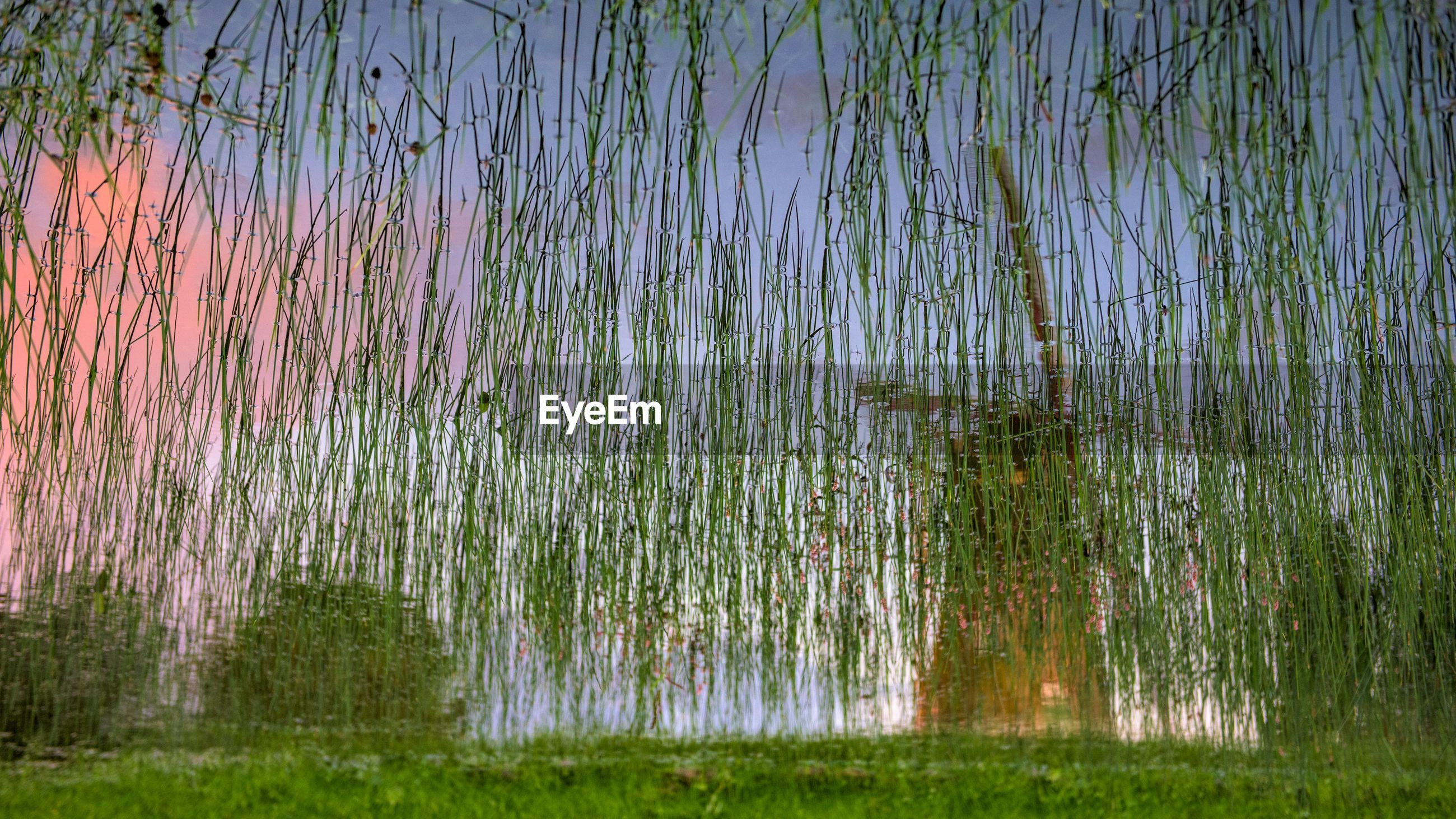 High angle view of grass growing on lake with reflection