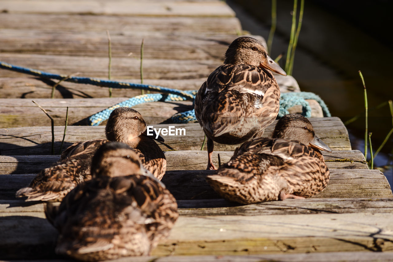 Ducklings On Wooden Pier During Sunny Day