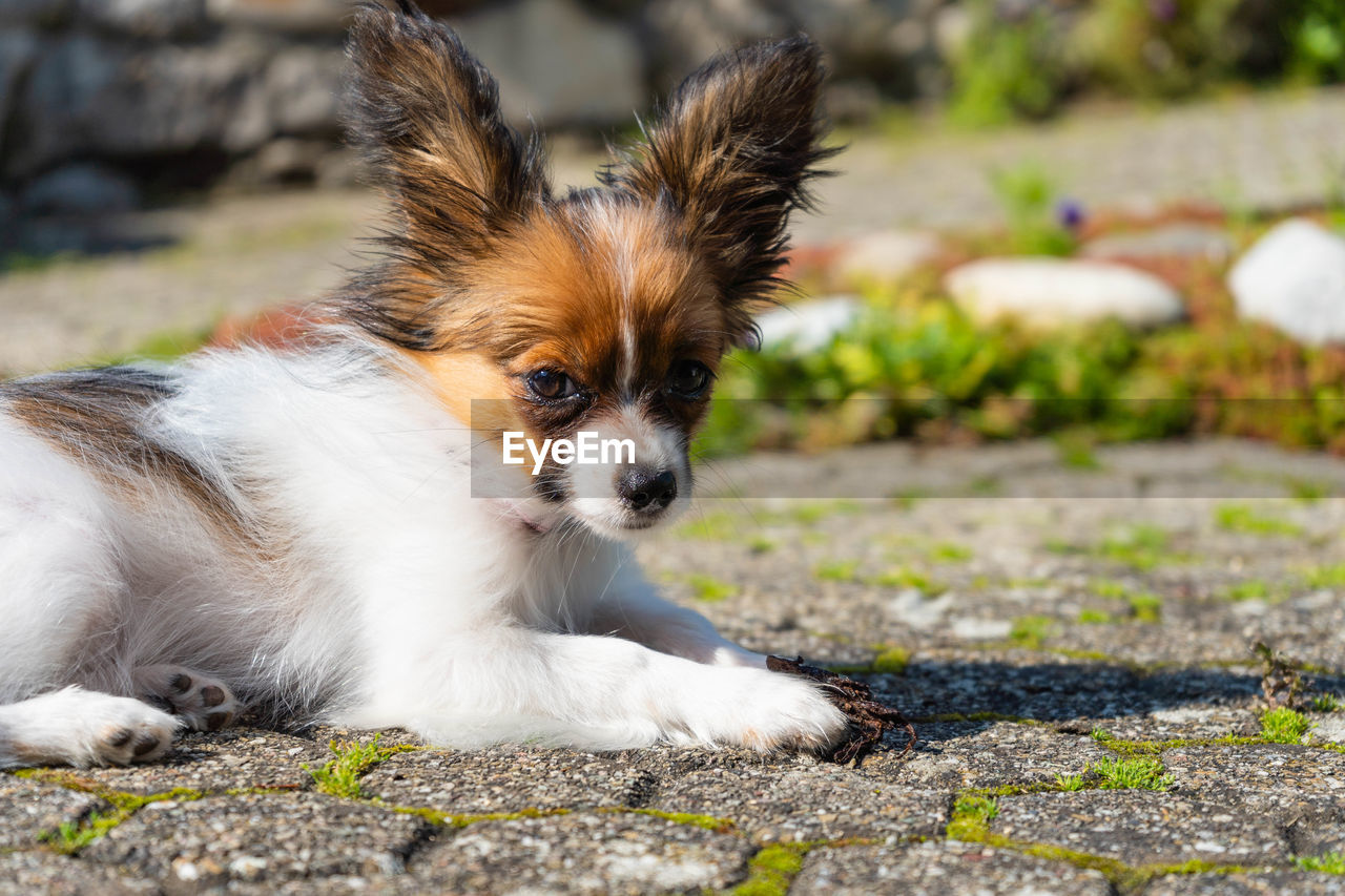 mammal, one animal, animal themes, dog, animal, canine, domestic animals, pets, domestic, vertebrate, day, no people, portrait, focus on foreground, lap dog, young animal, cavalier king charles spaniel, looking, puppy, outdoors, small