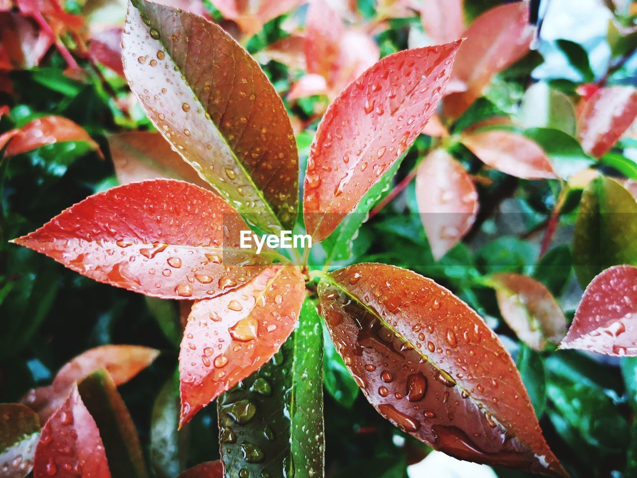 drop, wet, growth, leaf, plant part, close-up, water, plant, no people, nature, freshness, beauty in nature, rain, focus on foreground, day, red, backgrounds, full frame, raindrop, leaves, outdoors, rainy season, dew, purity