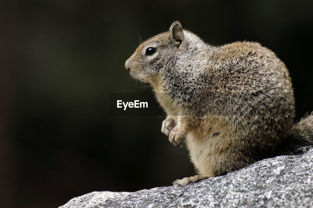 animal themes, animal, animal wildlife, one animal, mammal, animals in the wild, rodent, no people, vertebrate, rock, focus on foreground, close-up, rock - object, solid, squirrel, nature, side view, day, outdoors, looking, profile view, whisker