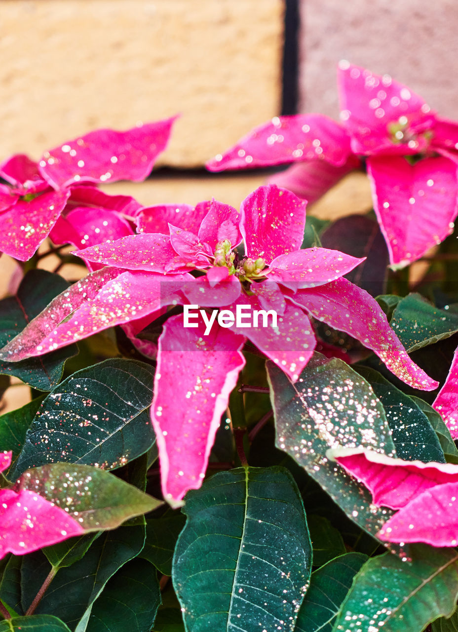 leaf, drop, wet, growth, close-up, nature, fragility, beauty in nature, no people, day, water, pink color, freshness, petal, raindrop, outdoors, plant, flower, flower head, periwinkle