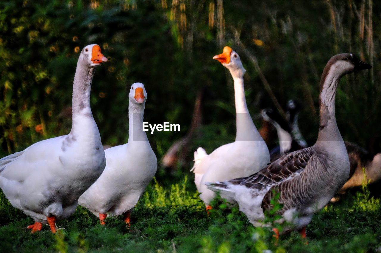 bird, animals in the wild, animal themes, animal wildlife, nature, goose, grass, day, outdoors, geese, no people, water bird, togetherness, beauty in nature, tree, close-up, swan