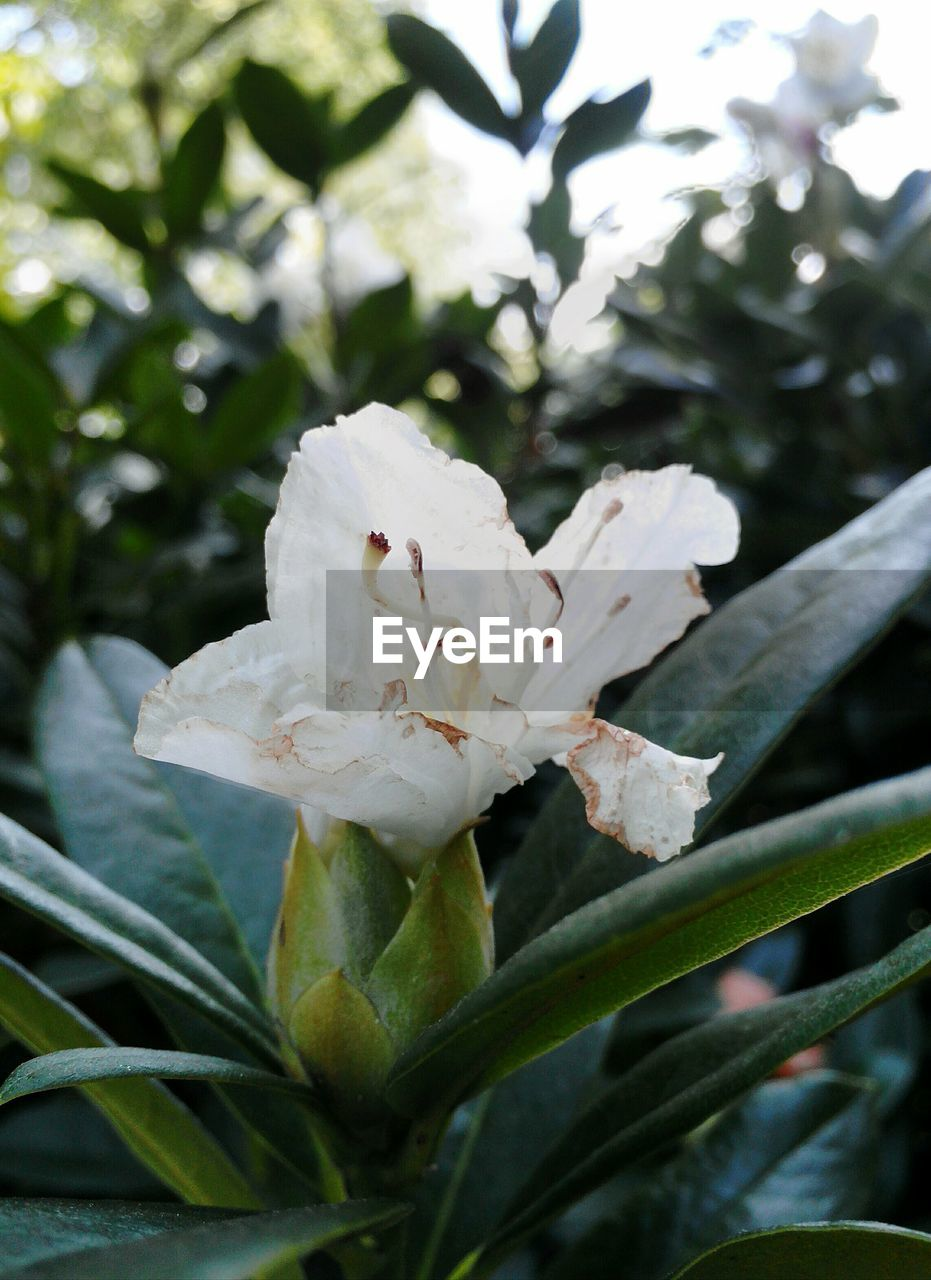 flower, growth, fragility, petal, white color, nature, beauty in nature, flower head, freshness, plant, close-up, leaf, day, no people, green color, outdoors, blooming, tree