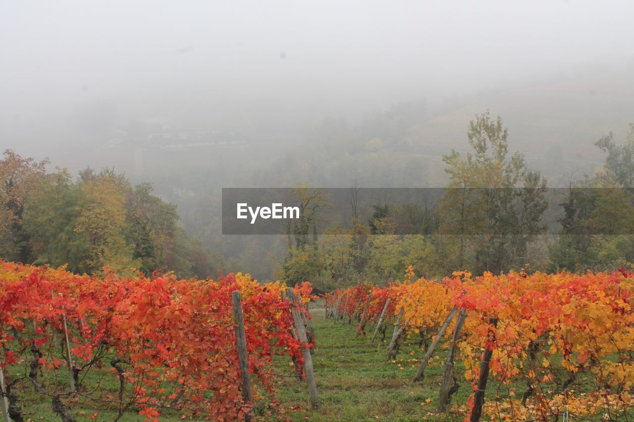 fog, nature, tree, autumn, beauty in nature, tranquil scene, tranquility, scenics, growth, landscape, field, no people, plant, day, outdoors, multi colored, mountain, sky, flower