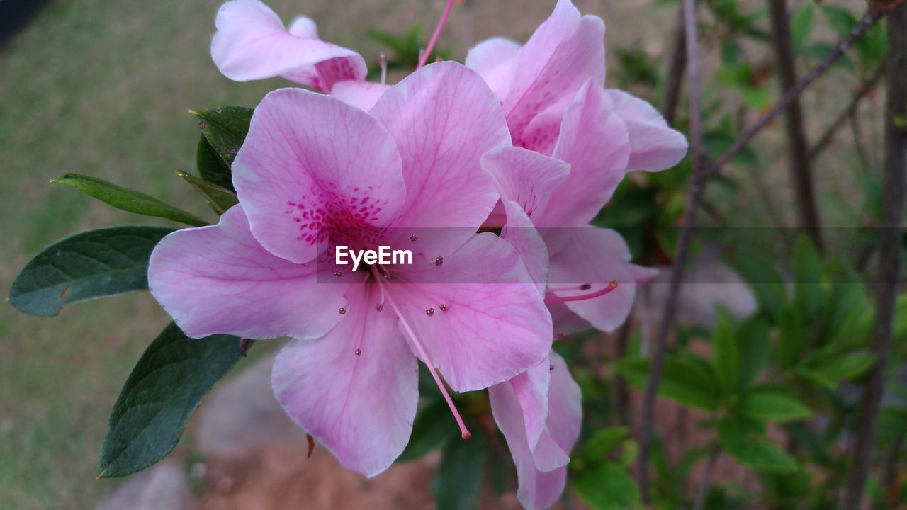 flower, petal, focus on foreground, beauty in nature, flower head, pink color, nature, plant, close-up, day, outdoors, growth, fragility, no people, freshness, blooming, periwinkle