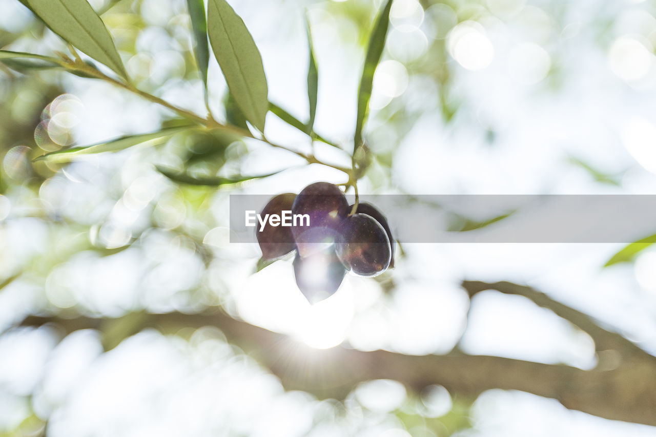 plant, growth, close-up, nature, day, no people, beauty in nature, focus on foreground, leaf, selective focus, low angle view, tree, plant part, outdoors, green color, branch, freshness, vulnerability, hanging, fragility, purple