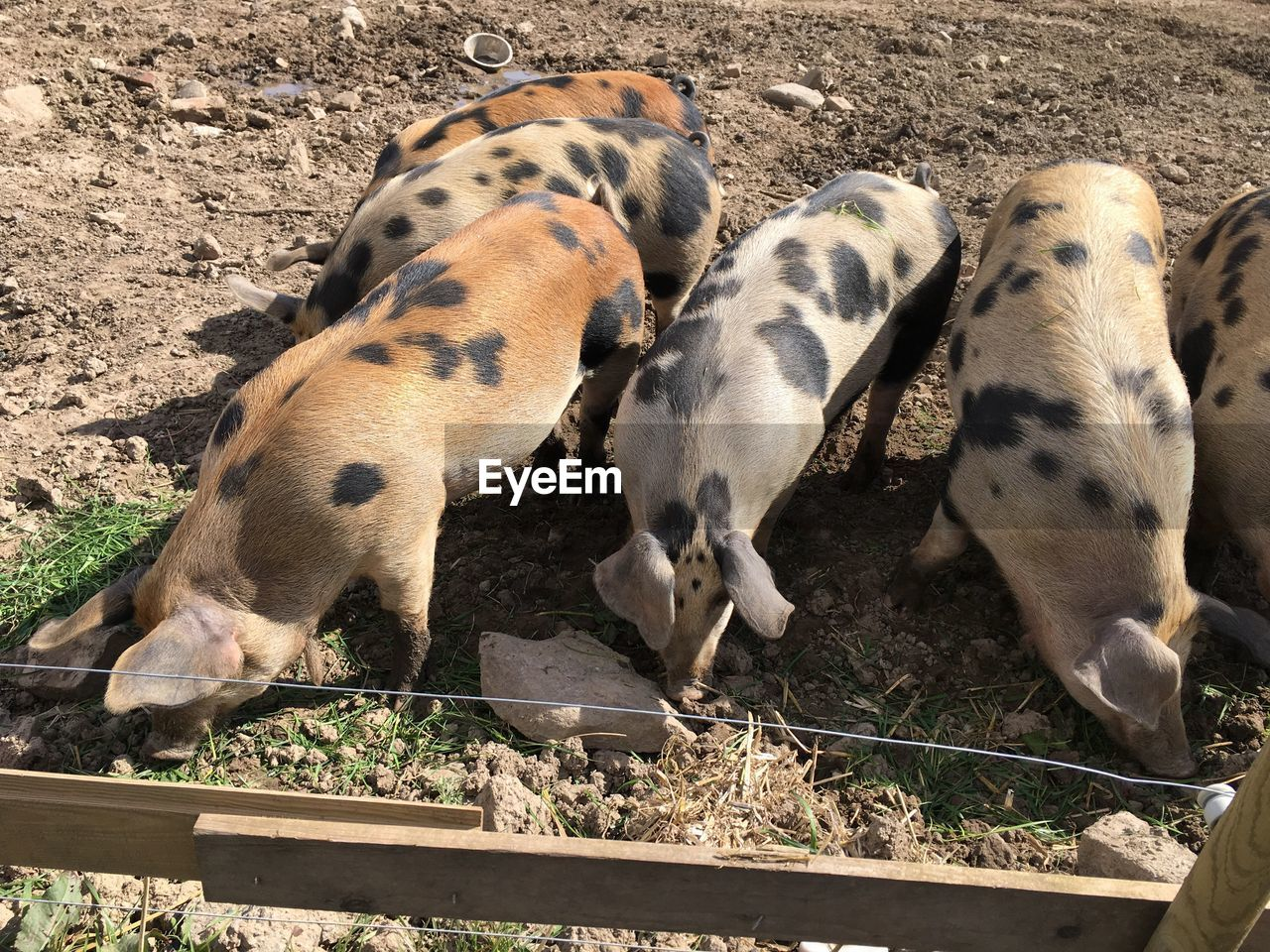 animal themes, mammal, high angle view, day, domestic animals, young animal, no people, field, outdoors, piglet, togetherness, nature, close-up