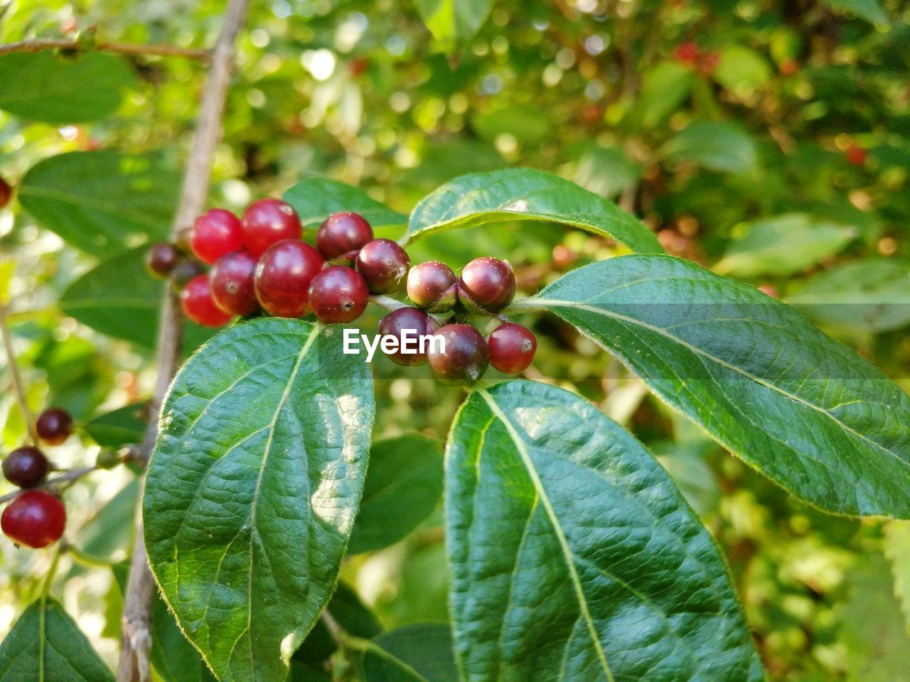 leaf, plant part, food and drink, food, fruit, growth, plant, healthy eating, freshness, green color, close-up, nature, tree, day, berry fruit, beauty in nature, focus on foreground, red, no people, outdoors, ripe