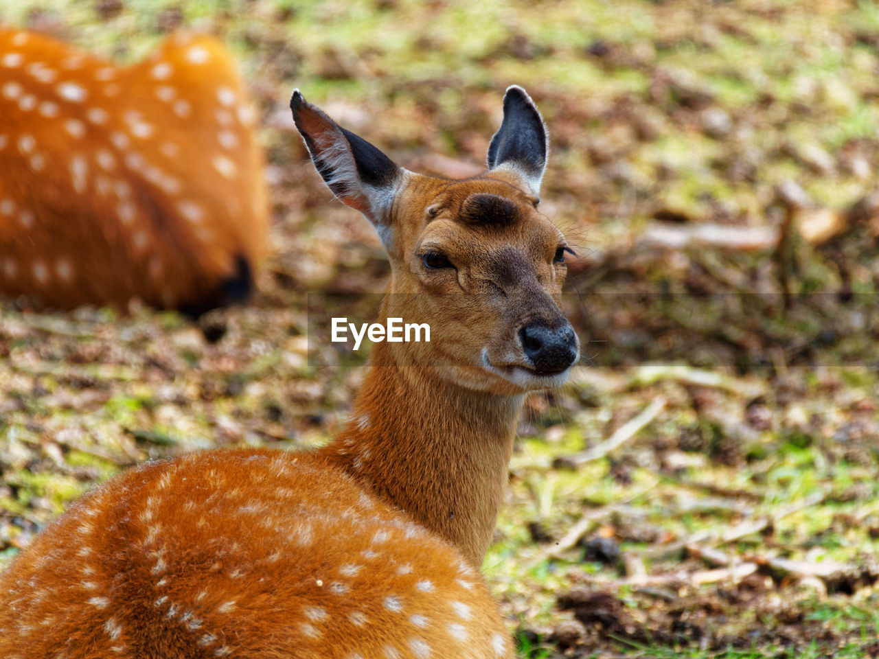 animal themes, animal, animal wildlife, animals in the wild, mammal, land, field, one animal, vertebrate, brown, focus on foreground, no people, deer, nature, portrait, day, herbivorous, fawn, close-up, outdoors
