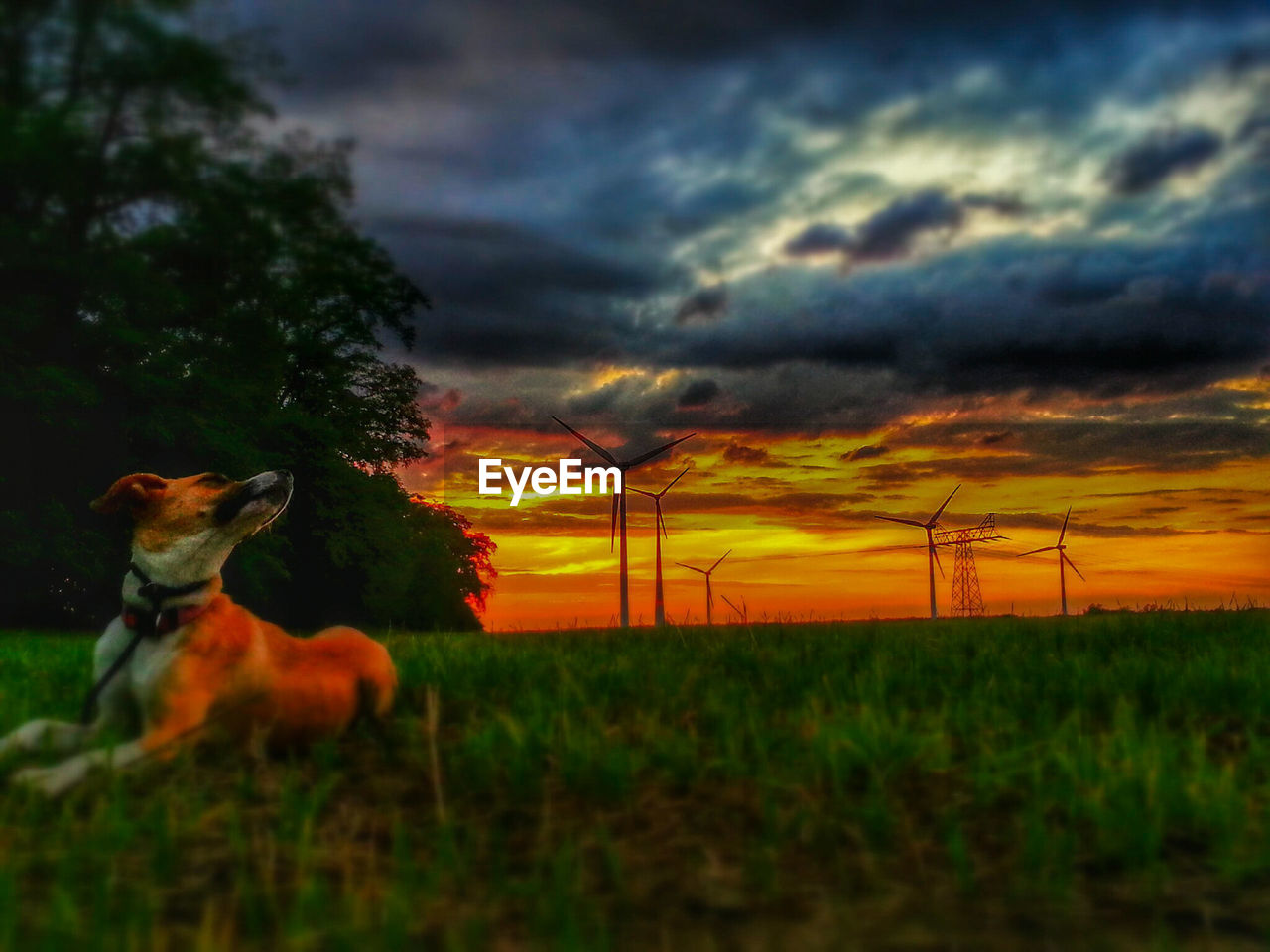 sunset, cloud - sky, alternative energy, sky, wind power, wind turbine, orange color, domestic animals, environmental conservation, nature, animal themes, no people, dramatic sky, one animal, field, mammal, outdoors, dusk, grass, fuel and power generation, windmill, landscape, storm cloud, beauty in nature, pets, rural scene, electricity pylon, technology, industrial windmill, tree, day