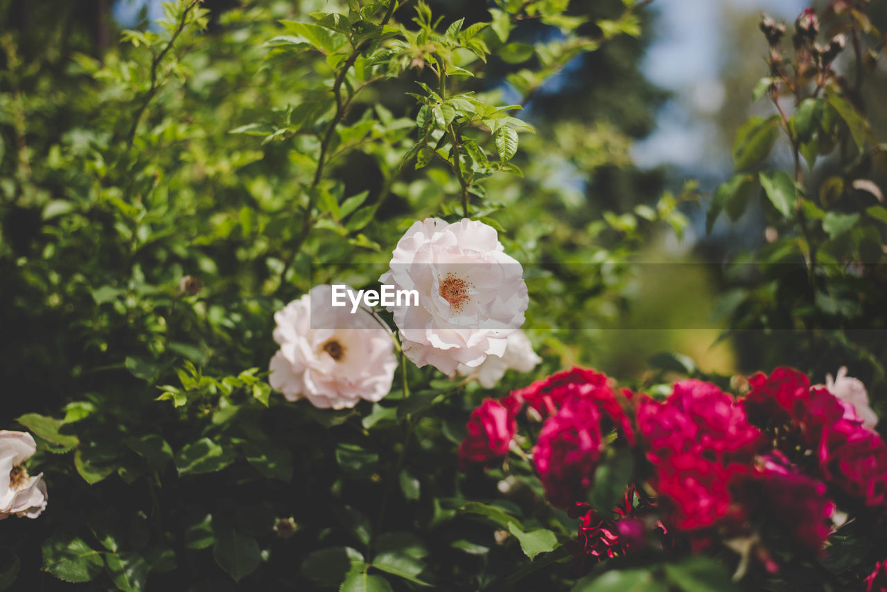 flowering plant, plant, flower, beauty in nature, freshness, petal, fragility, growth, vulnerability, close-up, white color, rose, flower head, inflorescence, leaf, nature, plant part, rose - flower, day, focus on foreground, pink color, no people, outdoors, bouquet