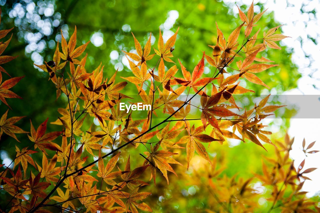 leaf, leaves, nature, growth, autumn, beauty in nature, no people, day, outdoors, maple leaf, close-up, tree, maple