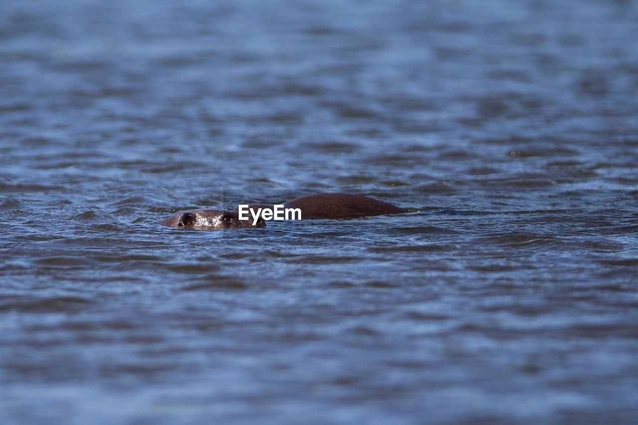 one animal, animal themes, animal, animal wildlife, animals in the wild, swimming, water, mammal, selective focus, vertebrate, no people, nature, day, waterfront, motion, underwater, outdoors, sea, animal body part, surface level, animal head, stealth