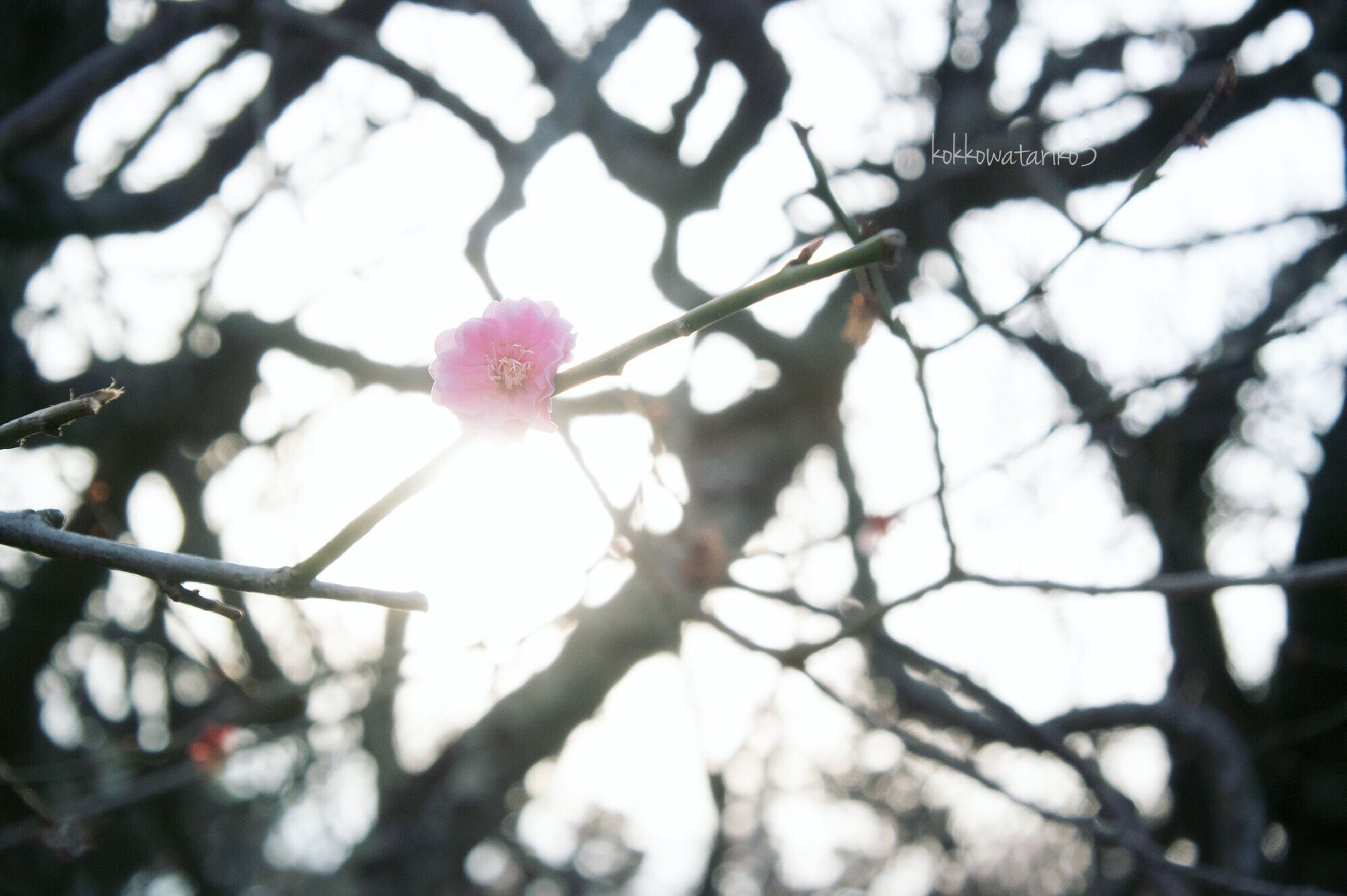 flower, nature, growth, beauty in nature, petal, pink color, tree, close-up, no people, fragility, flower head, focus on foreground, low angle view, sky, branch, outdoors, day, blooming, freshness, plum blossom