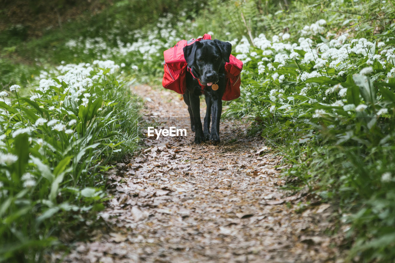 Black dog walking in forest