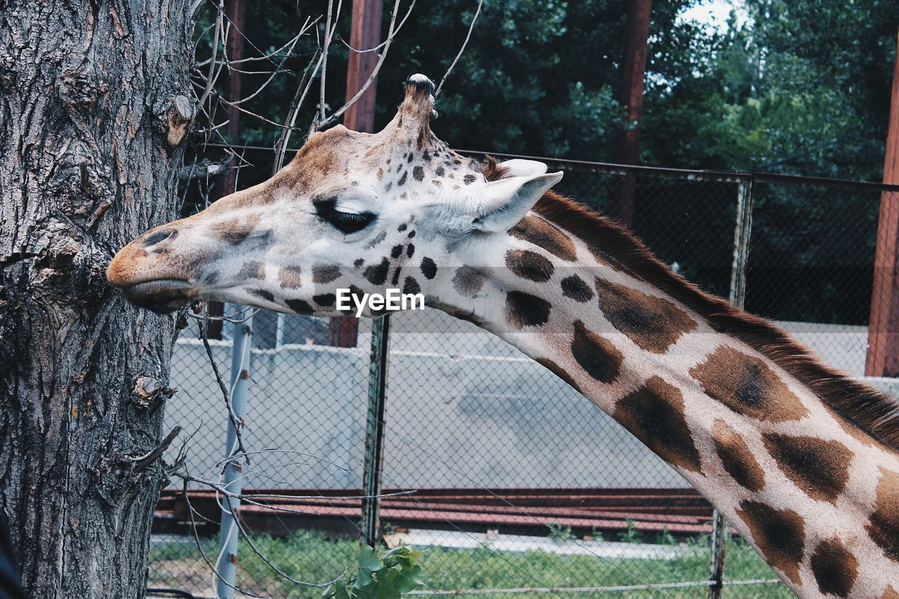giraffe, animal themes, one animal, animal body part, mammal, animal head, zoo, animal wildlife, spotted, barbed wire, safari animals, day, no people, outdoors, animals in the wild, nature, animal markings, close-up