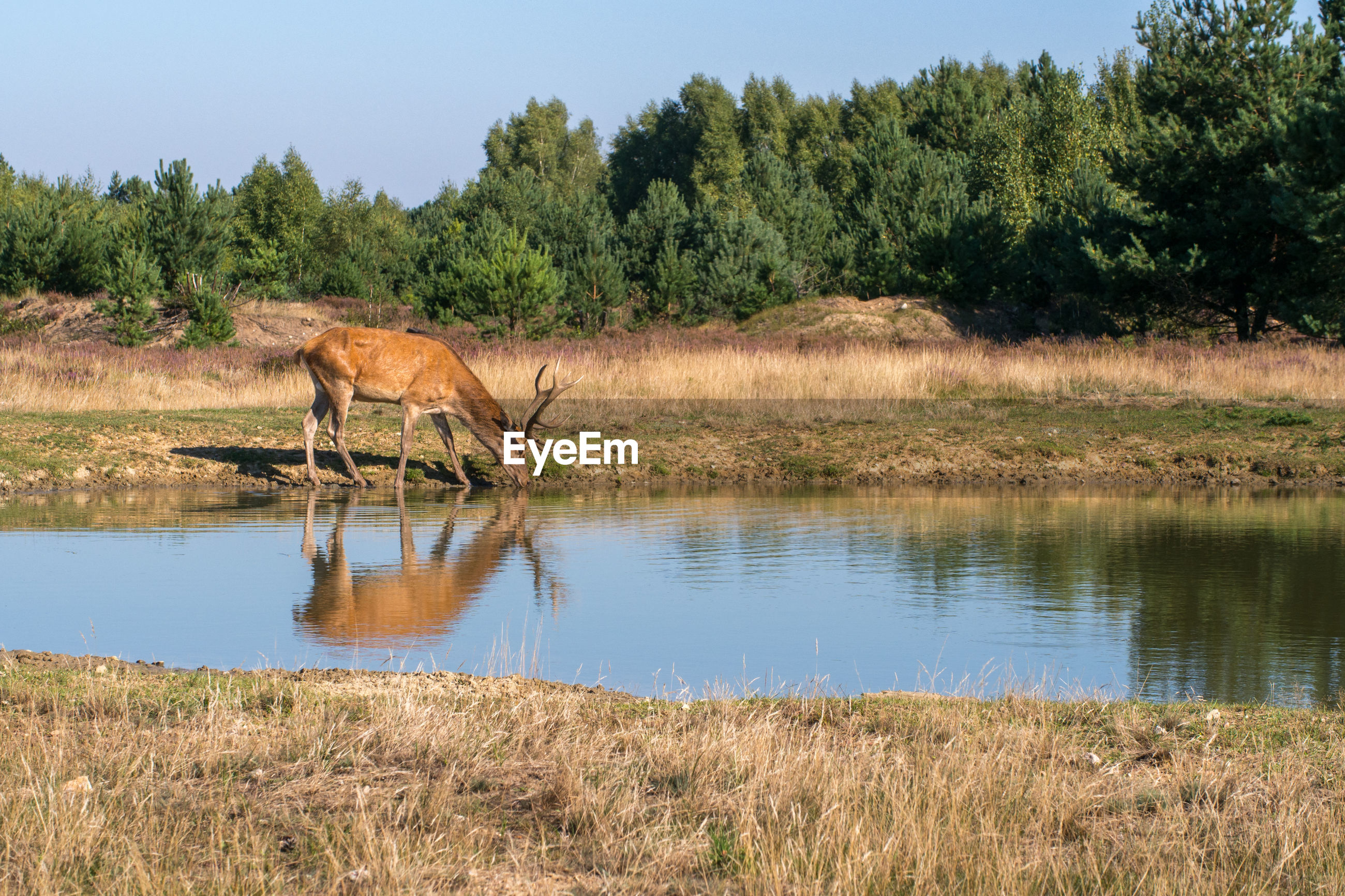 Deer drinking water at lakeshore in forest against sky