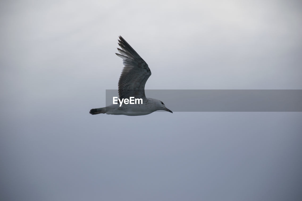 flying, bird, animal wildlife, animal themes, animal, animals in the wild, vertebrate, nature, freedom, wild, sky, spread wings, no people, seagull, outdoors, one animal, tropical climate, environment, copy space, mid-air, marine