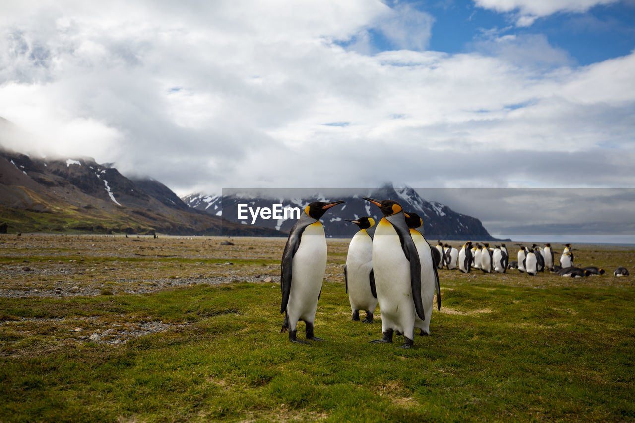 Penguins On Field Against Cloudy Sky