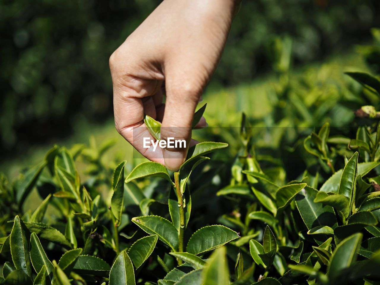 Cropped hand of person picking tea leaves