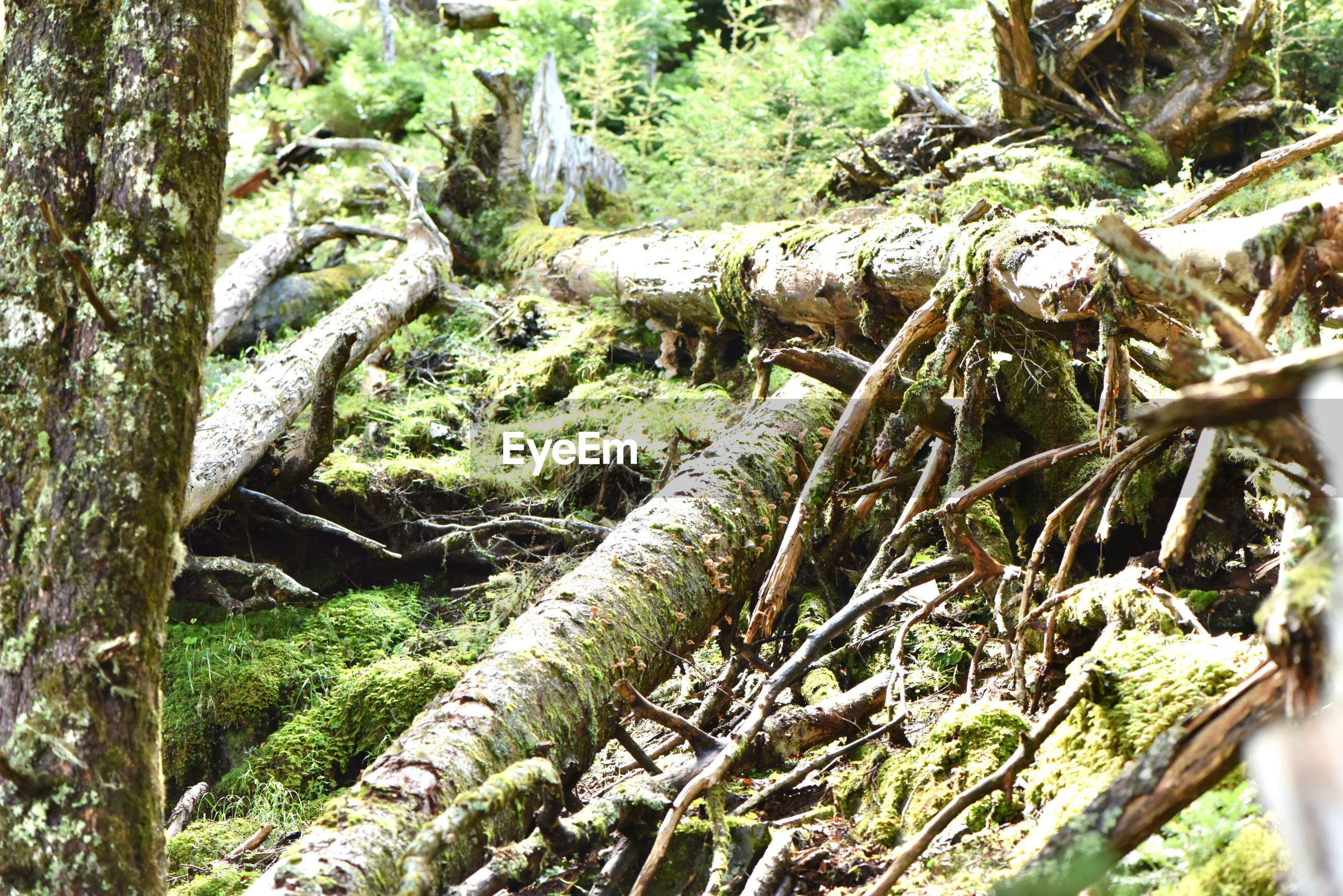 tree, plant, forest, tree trunk, trunk, land, growth, nature, tranquility, day, no people, woodland, beauty in nature, outdoors, moss, root, environment, log, plant part, sunlight, wood