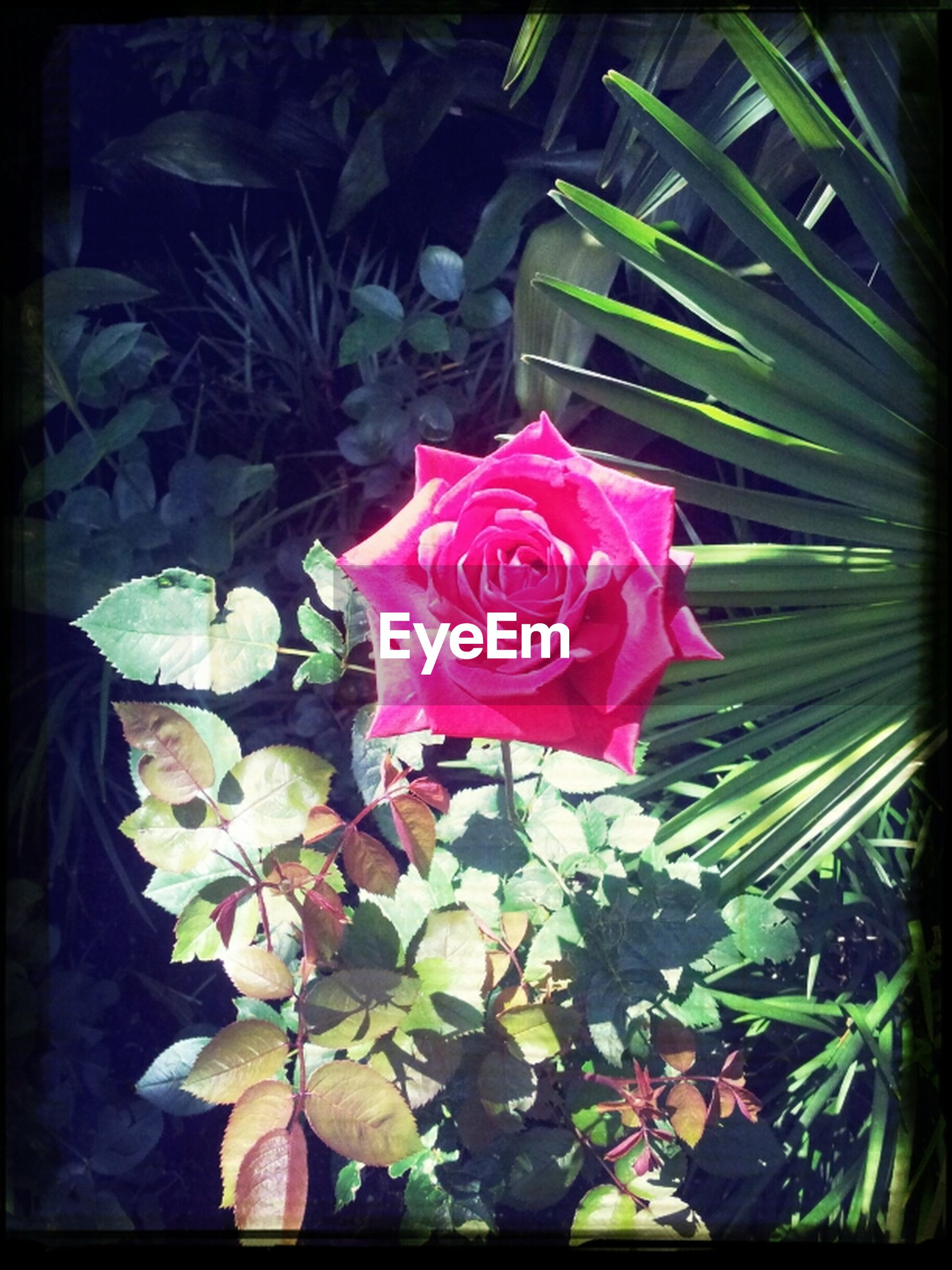 flower, petal, flower head, freshness, fragility, rose - flower, transfer print, pink color, beauty in nature, growth, leaf, rose, blooming, nature, close-up, auto post production filter, plant, single flower, pink, in bloom
