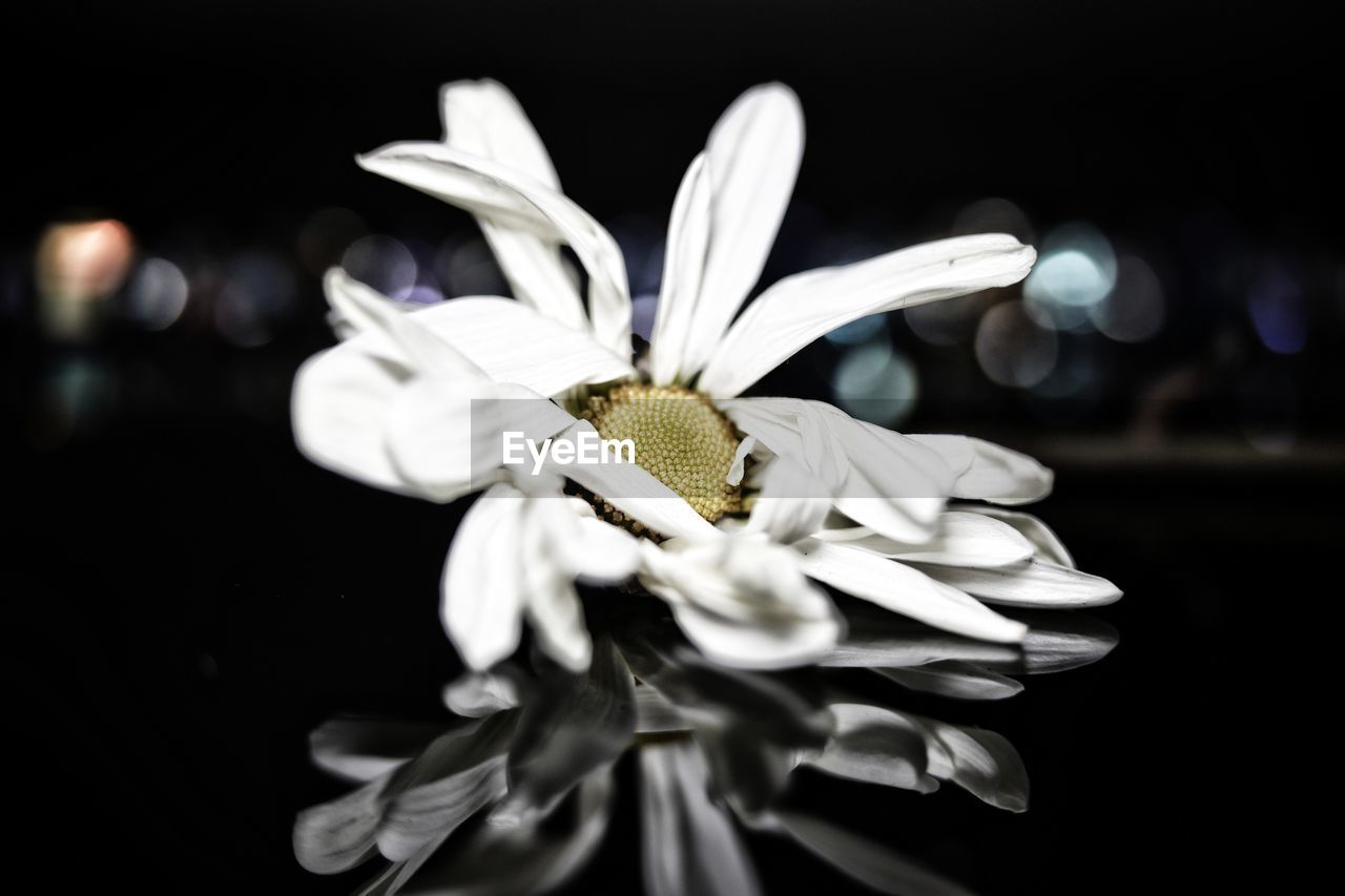 flower, vulnerability, fragility, flowering plant, petal, beauty in nature, close-up, flower head, inflorescence, freshness, plant, white color, pollen, growth, focus on foreground, no people, black background, nature, daisy