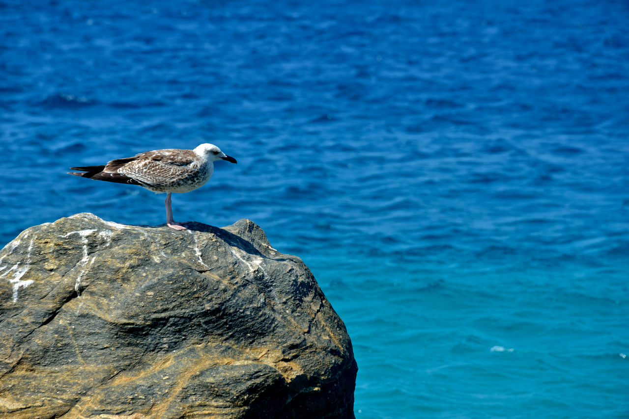 animals in the wild, animal, bird, animal wildlife, animal themes, vertebrate, rock, water, solid, one animal, sea, rock - object, perching, no people, day, nature, blue, focus on foreground, side view, seagull, outdoors