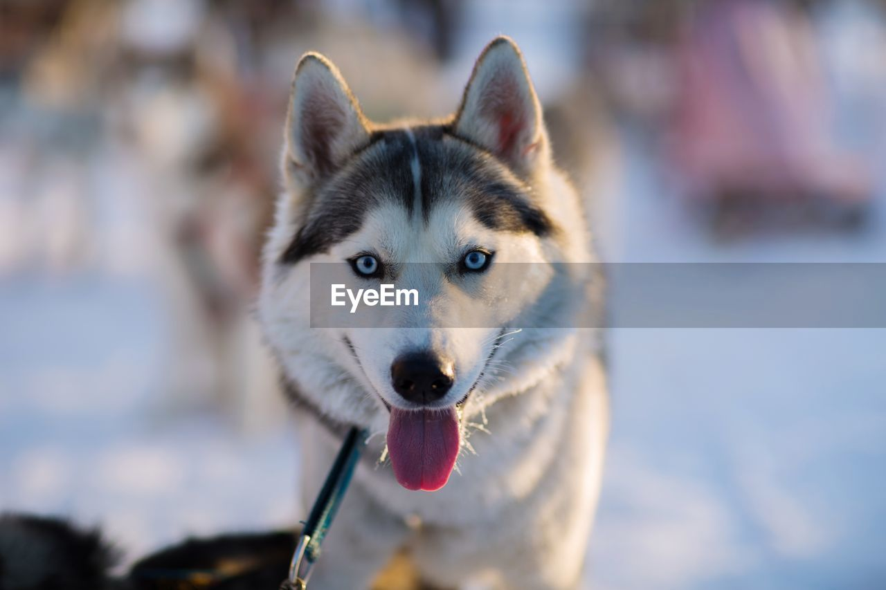 domestic, one animal, pets, mammal, animal, canine, dog, animal themes, domestic animals, focus on foreground, sled dog, vertebrate, close-up, day, siberian husky, portrait, nature, no people, looking at camera, looking, outdoors, animal head