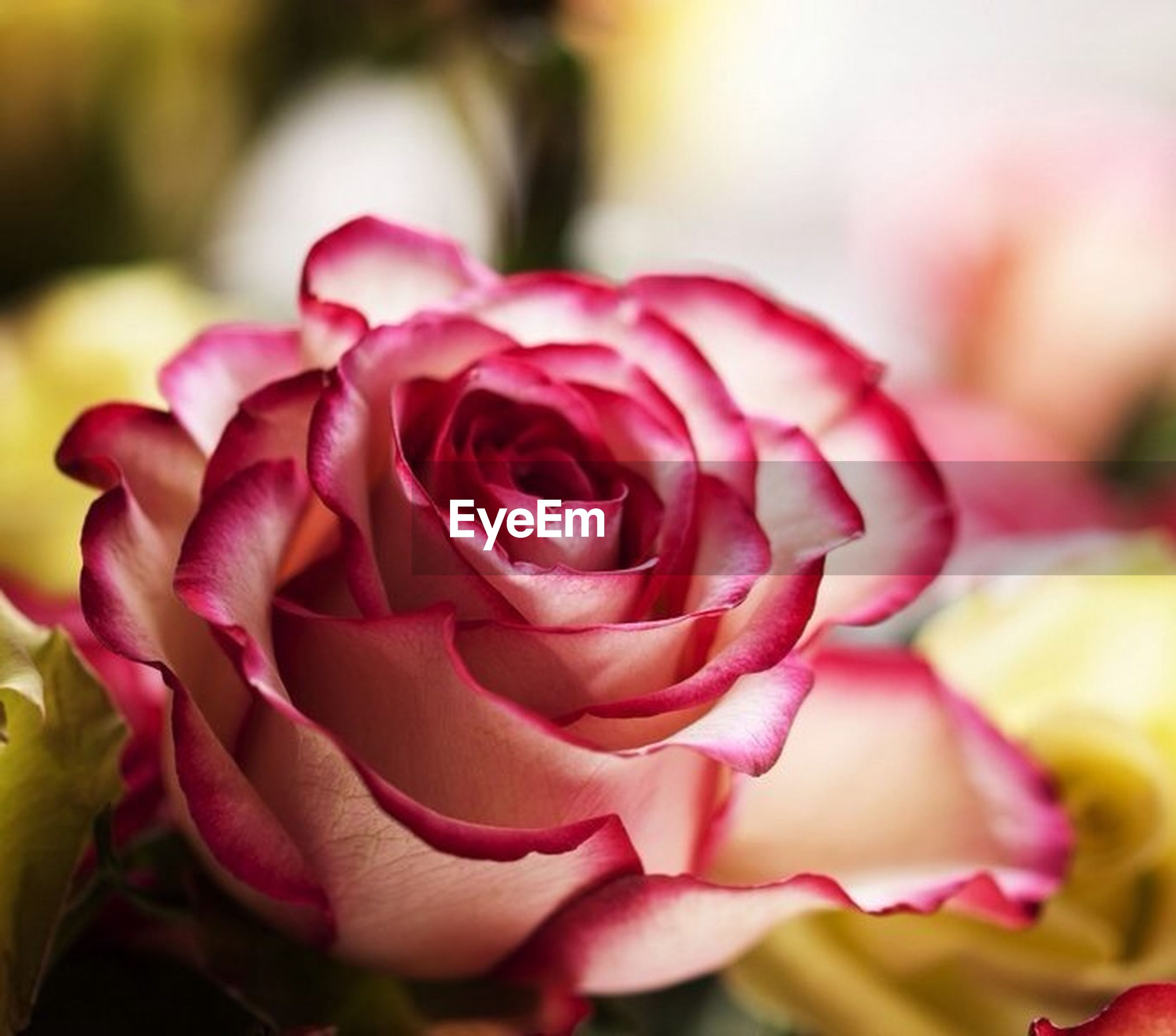 flower, petal, flower head, freshness, rose - flower, fragility, close-up, beauty in nature, pink color, growth, focus on foreground, nature, rose, single flower, blooming, selective focus, in bloom, plant, pink, blossom