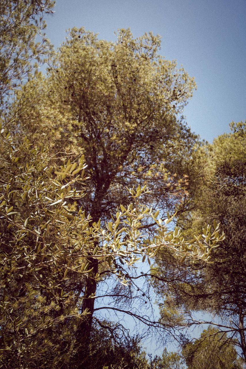nature, tree, growth, low angle view, beauty in nature, no people, outdoors, day, clear sky, branch, sky