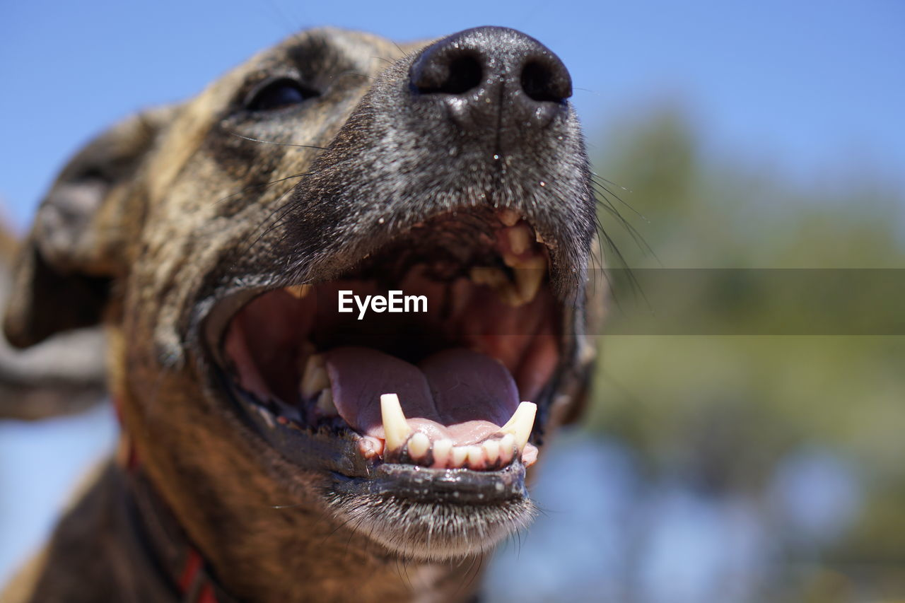 one animal, animal, animal themes, mammal, mouth open, animal body part, mouth, vertebrate, close-up, focus on foreground, no people, animal teeth, dog, canine, domestic animals, day, domestic, pets, animal head, nature, animal mouth, aggression
