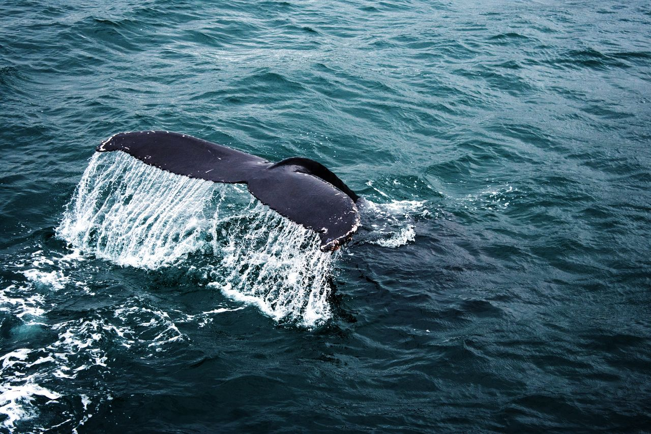 High Angle View Of Humpback Whale Swimming In Sea