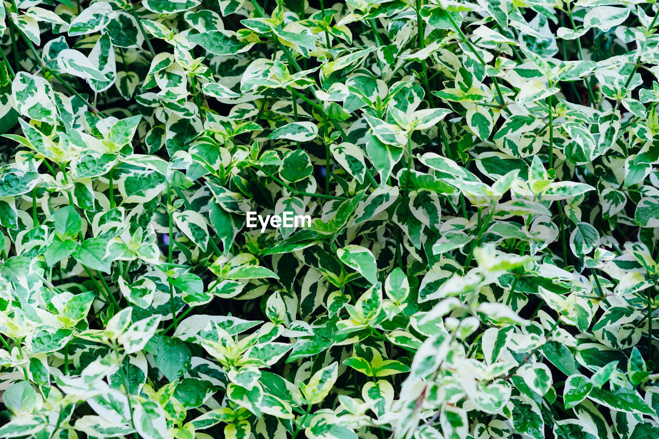 green color, leaf, plant part, growth, full frame, plant, backgrounds, nature, beauty in nature, no people, day, tranquility, high angle view, outdoors, land, field, close-up, foliage, lush foliage, freshness, leaves
