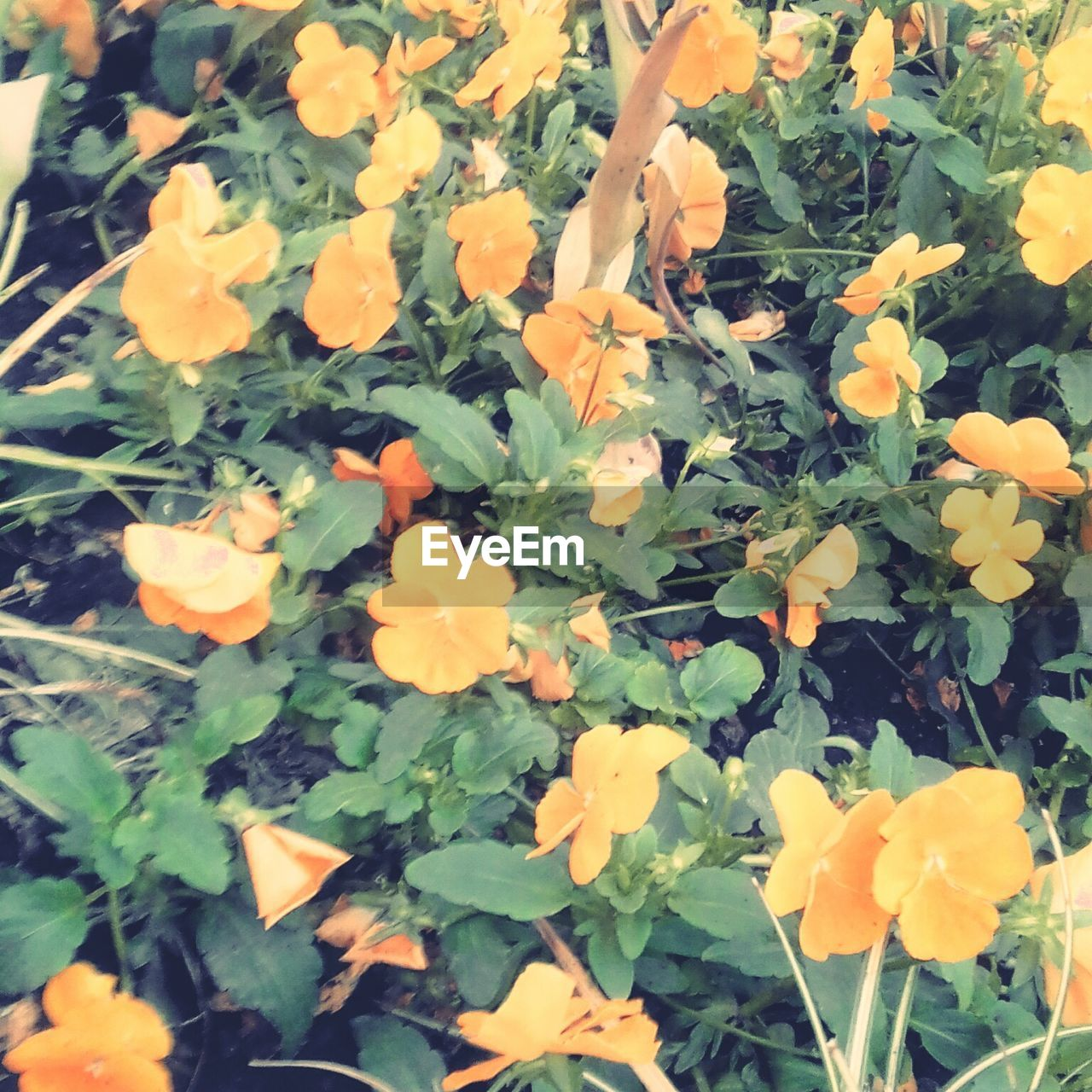 flower, plant, growth, yellow, nature, petal, freshness, leaf, fragility, beauty in nature, blooming, flower head, marigold, outdoors, day, no people, close-up