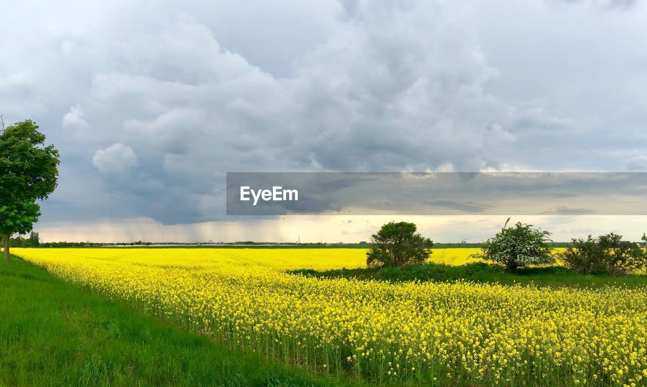 yellow, agriculture, field, oilseed rape, tranquil scene, landscape, nature, crop, farm, tranquility, rural scene, beauty in nature, growth, cultivated land, scenics, sky, cloud - sky, no people, plant, day, tree, outdoors, green color, cultivated, flower, grass