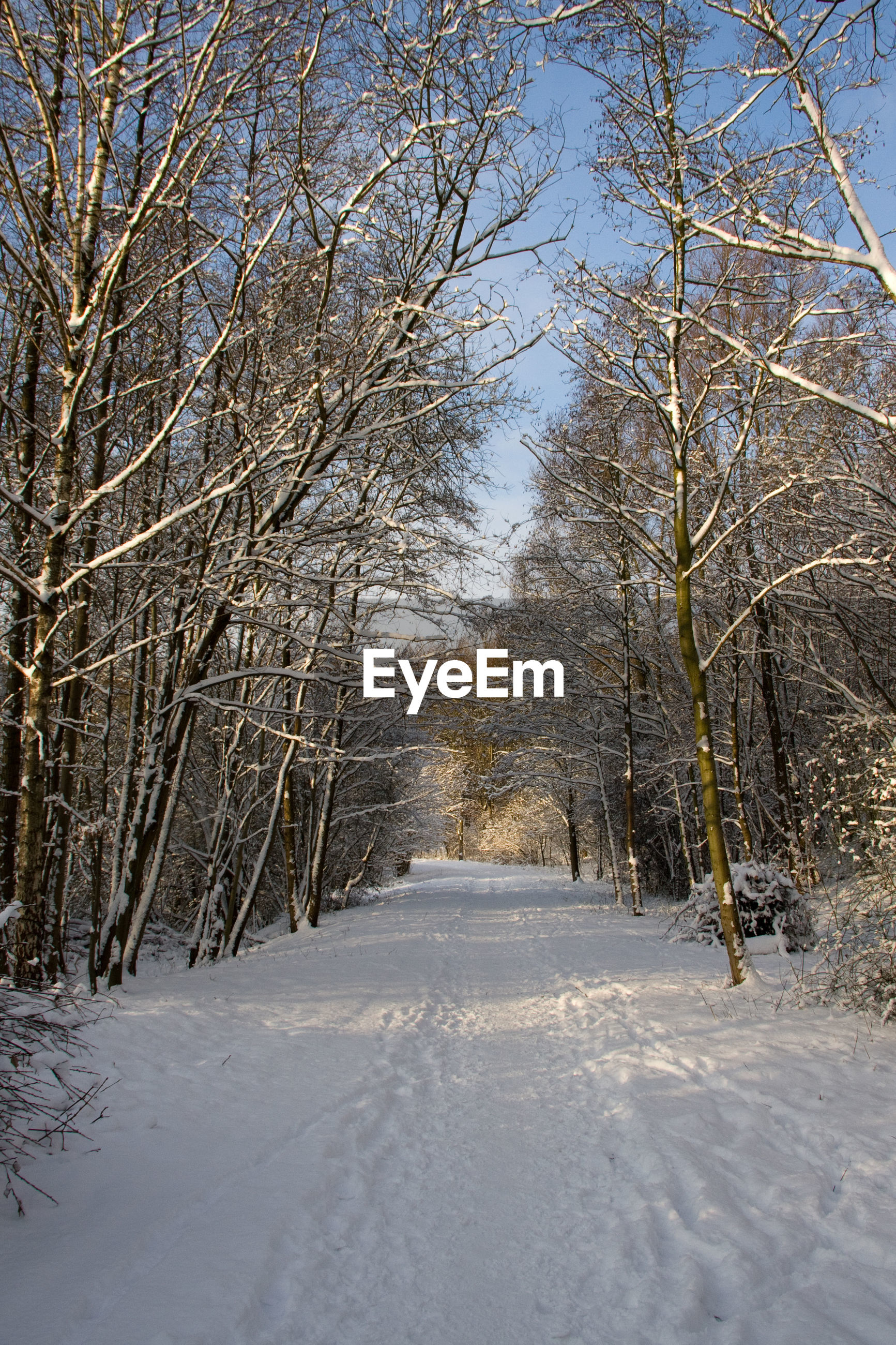 BARE TREES IN SNOW COVERED FOREST