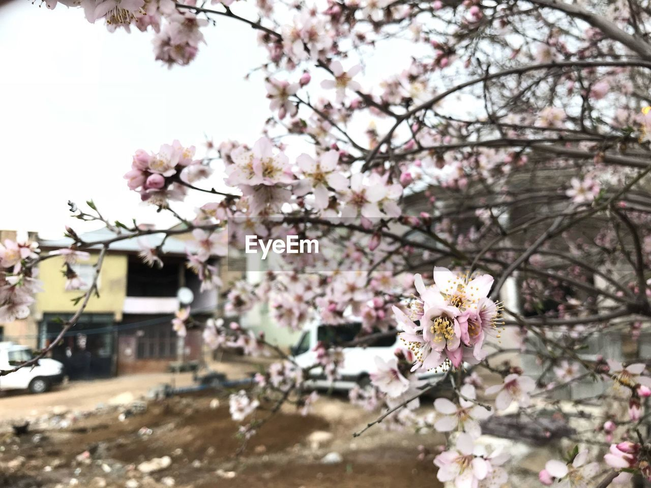 flowering plant, flower, plant, tree, fragility, springtime, blossom, growth, beauty in nature, vulnerability, nature, freshness, branch, cherry blossom, day, focus on foreground, pink color, cherry tree, building exterior, architecture, no people, outdoors, flower head