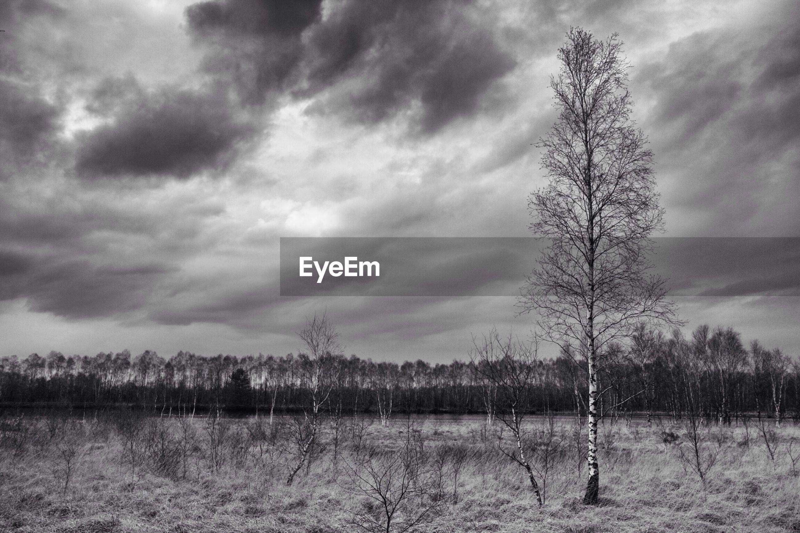 Birch tree against cloudy sky