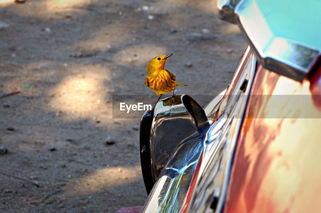 bird, vertebrate, animal themes, animal, animal wildlife, animals in the wild, one animal, day, no people, focus on foreground, perching, mode of transportation, outdoors, sunlight, yellow, nature, car, motor vehicle, transportation, land vehicle