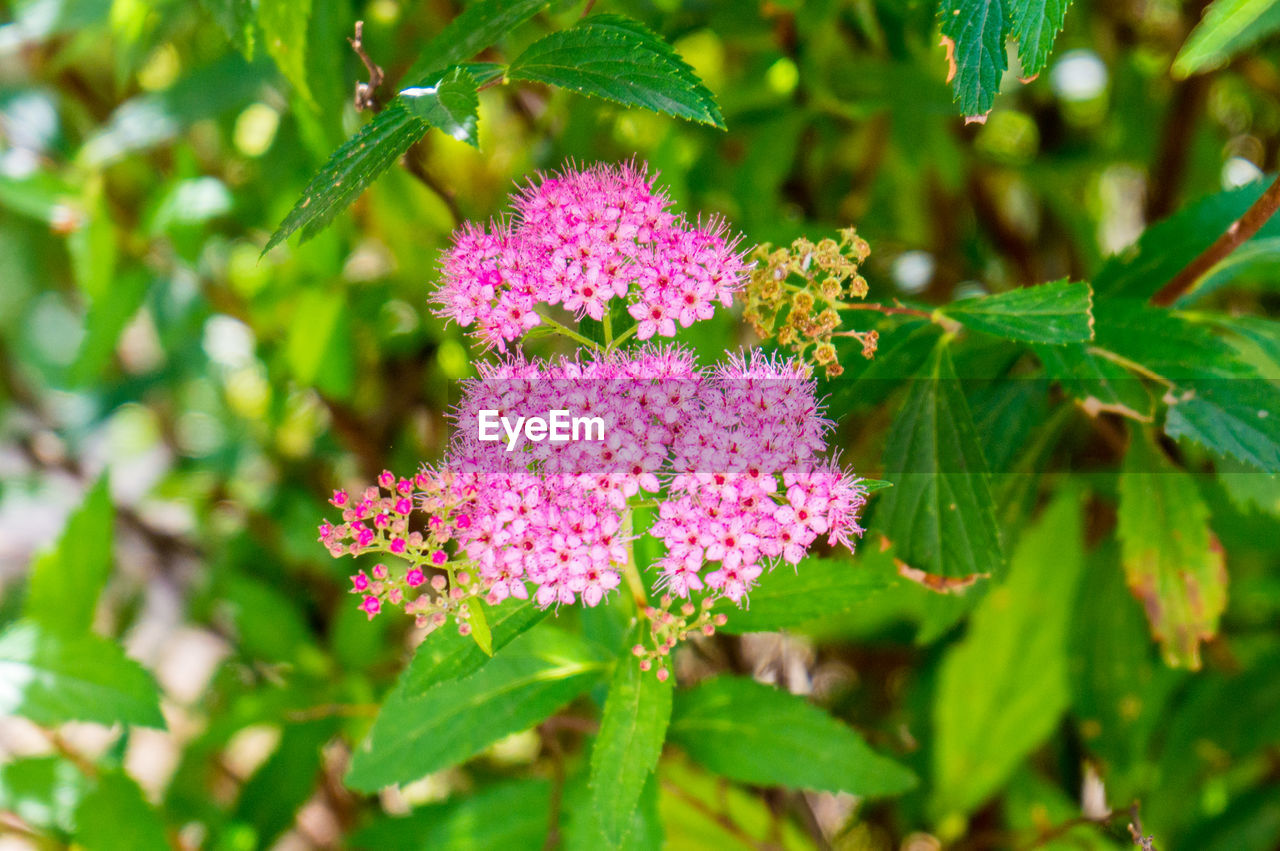 flowering plant, flower, plant, vulnerability, freshness, beauty in nature, fragility, growth, plant part, pink color, leaf, close-up, green color, day, nature, no people, petal, inflorescence, selective focus, flower head, outdoors, purple, lilac