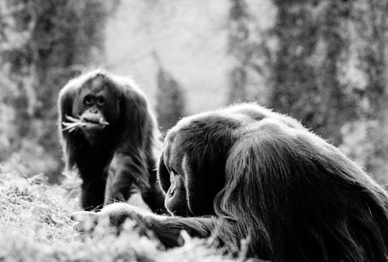mammal, animal, animal themes, monkey, primate, animal wildlife, animals in the wild, group of animals, vertebrate, two animals, day, no people, selective focus, tree, land, focus on foreground, sitting, relaxation, nature, outdoors, animal family