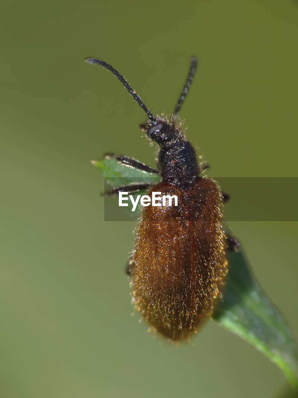 insect, animal wildlife, invertebrate, animal themes, animals in the wild, animal, one animal, close-up, no people, plant, nature, focus on foreground, brown, animal body part, green color, day, beetle, animal antenna, selective focus, zoology