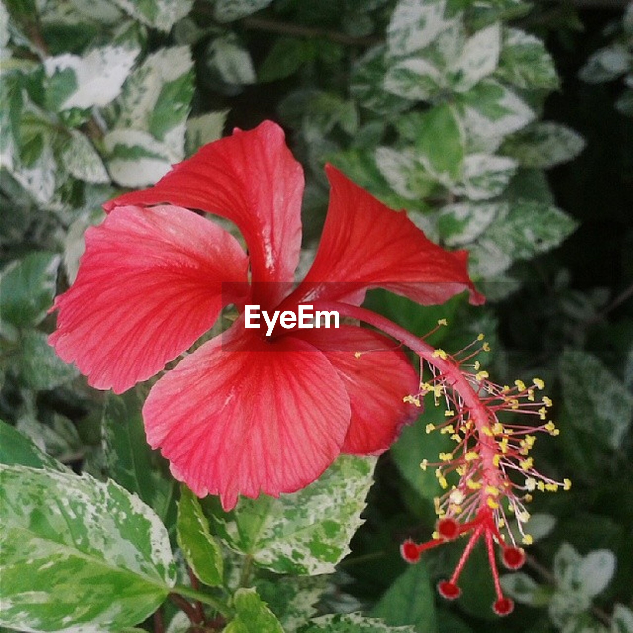 flower, petal, freshness, flower head, red, fragility, growth, beauty in nature, blooming, plant, close-up, nature, focus on foreground, pollen, single flower, in bloom, stamen, hibiscus, leaf, park - man made space