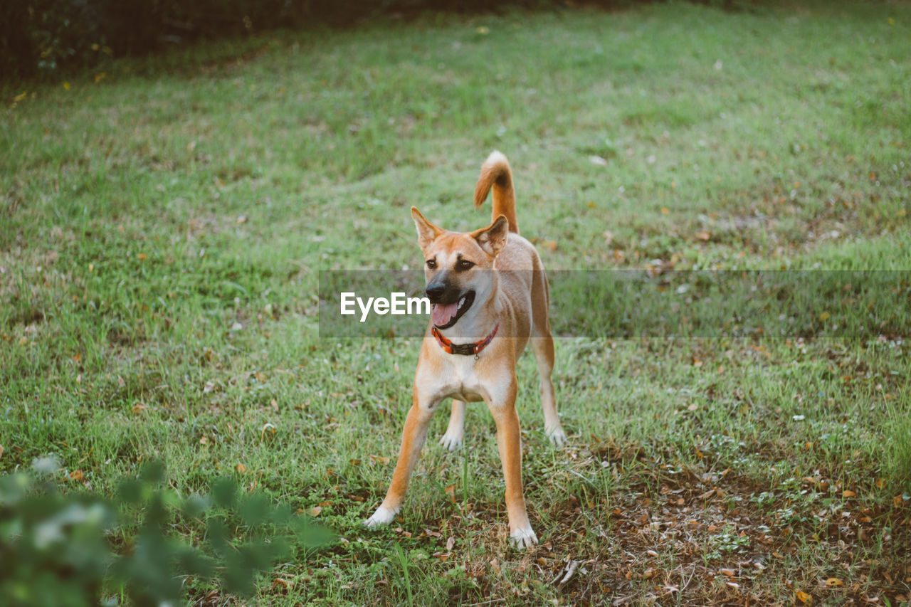 one animal, canine, mammal, animal themes, domestic animals, dog, domestic, animal, pets, grass, vertebrate, field, land, plant, nature, day, no people, mouth open, mouth, standing, panting
