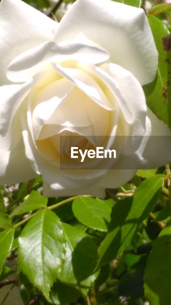 flower, petal, white color, rose - flower, leaf, freshness, fragility, nature, flower head, plant, no people, beauty in nature, close-up, growth, green color, day, outdoors